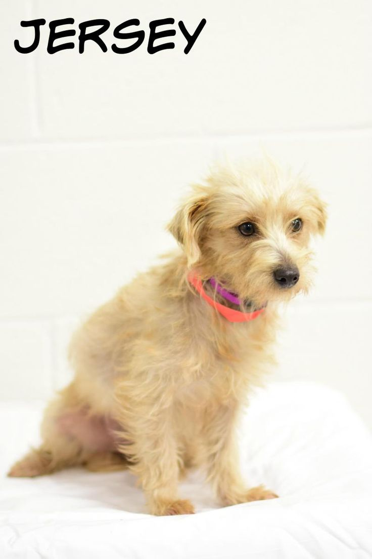 Meet Jersey, an adoptable Yorkshire Terrier Yorkie looking for a forever home. If you're looking for a new pet to adopt or want information on how to get involved with adoptable pets, Petfinder.com is a great resource.