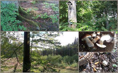 borowik prawdziwek las bukowy