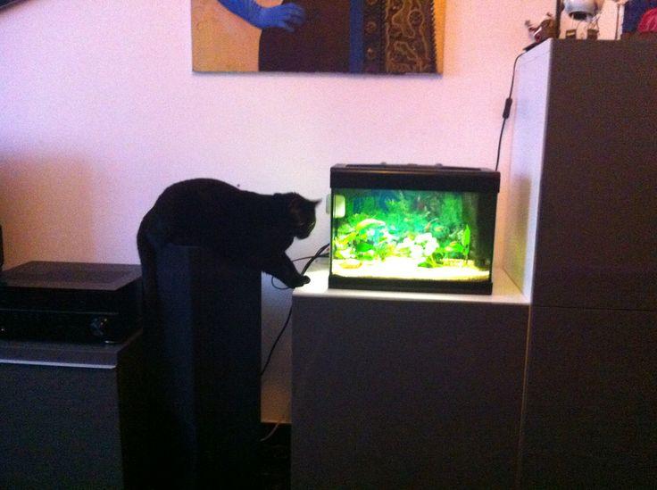 Ginevra the fishing cat