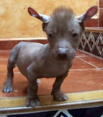 el mejor perro ... tenia que ser mexicano  (Mexican Hairless)