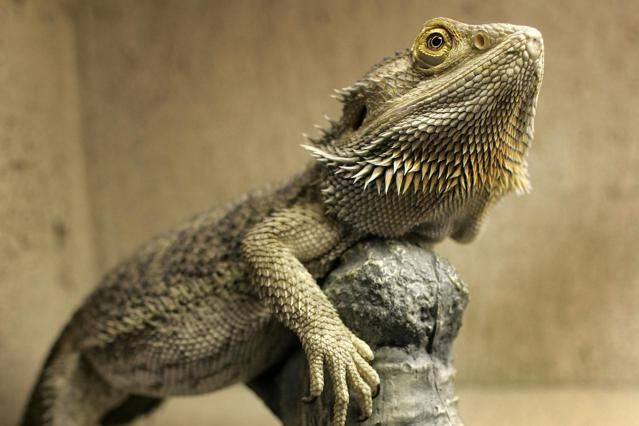 Bearded dragons exhibit some interesting behaviors. Check out this list of some of the more commonly observed ones.