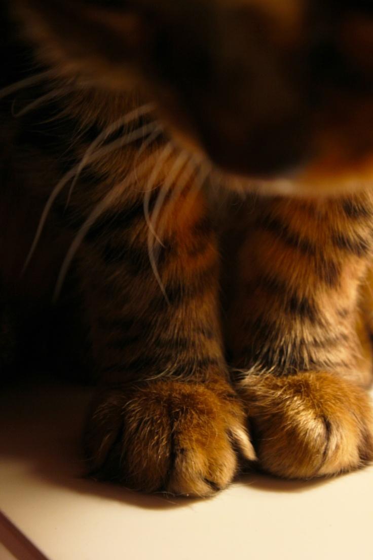 : Cat Paw, Cat Egori, Kitty Paw, Cat Iii, Posts, Kittens, Brown Beautiful, Baby Tigers, Cat Fancy