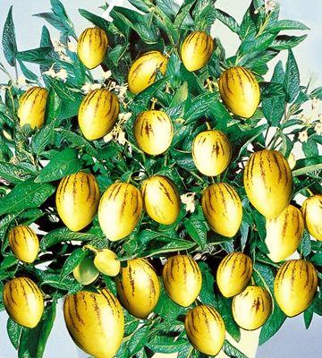 Päärynämeloni Pepino