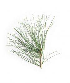 Dwarf Eastern White Pine Leaf