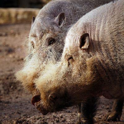 Де живуть бородаті свині? на Борнео! Бородата свиня не є породою домашніх свиней, це окремий вид, що належить до виду ссавців з сімейства свиней. Живуть в тропічних лісах Індонезії і на Філіппінах.