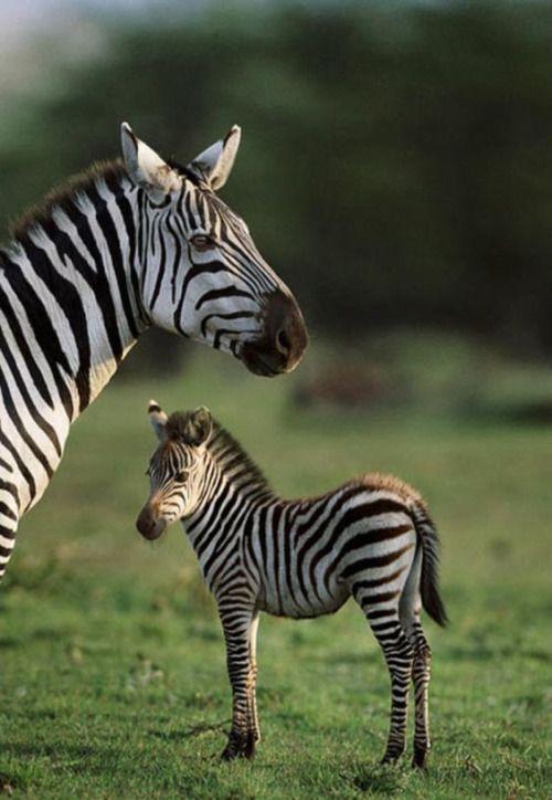 La maternità é unica in tutti i casi. #zebra