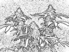 stoner coloring pages for adults cannabis coloring book page