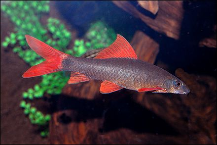 17 best images about freshwater fish gallery potential for Shark fish pet