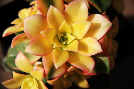 Love this color! 5 BIG YELLOW Succulent cuttings by 5starsucculents on Etsy, $9.95 #succulent