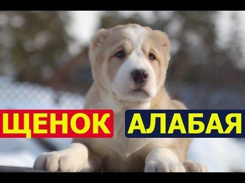 Щенок алабая - правильное кормление, дрессировка и воспитание - YouTube