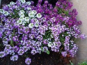 Bal kokulu küçük çiçekleriyle Kuduzotu'nun çiçeklenme mevsimi sonbahar ortalarıdır. Hafif ve iyi drene edilmiş toprak isteyen çiçek, bol ışık alan ortamlarda iyi gelişir. Ancak gerektiğinde çok az gölge olan yerlerde de yetişebilir.
