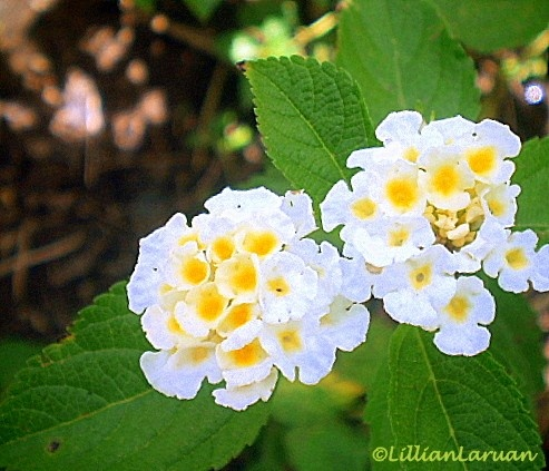 The 136 best charming flowers that delight the heart images on white lantana clusters flower power mightylinksfo