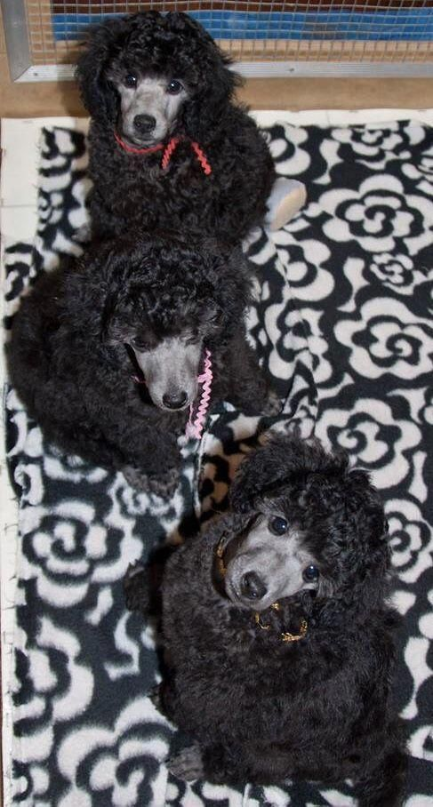 Poodle Puppies Poodlepuppies Poodles Poodle Puppy Cute Dogs