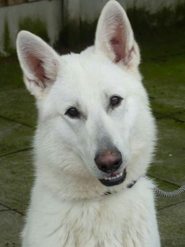 73 Best Images About White German Shepherds On Pinterest