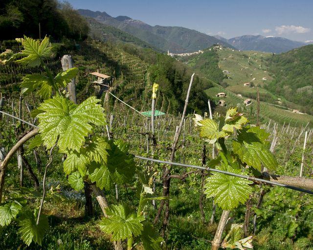 view from a vineyard in Conegliano Valdobbiadene hills