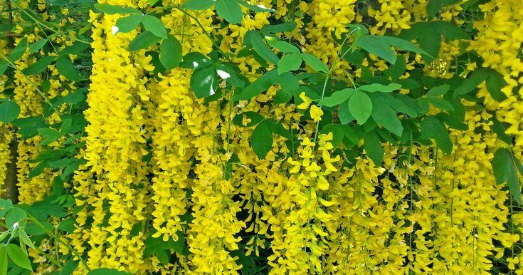 Wenn der Goldregen seine Blüten öffnet, ist das zweifellos einer der ganz großen Höhepunkte im Gartenjahr. Hier stellen wir Ihnen den kleinen Blütenbaum vor und geben Tipps zur Pflanzung und Pflege.