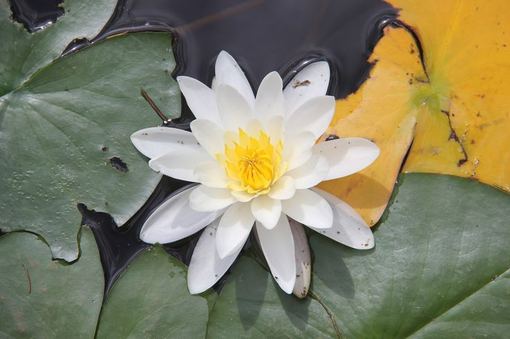 Water Lily in the lake beside the Painted Turtle Restaurant, in Clear Water BC on our travels in 2015  Picture