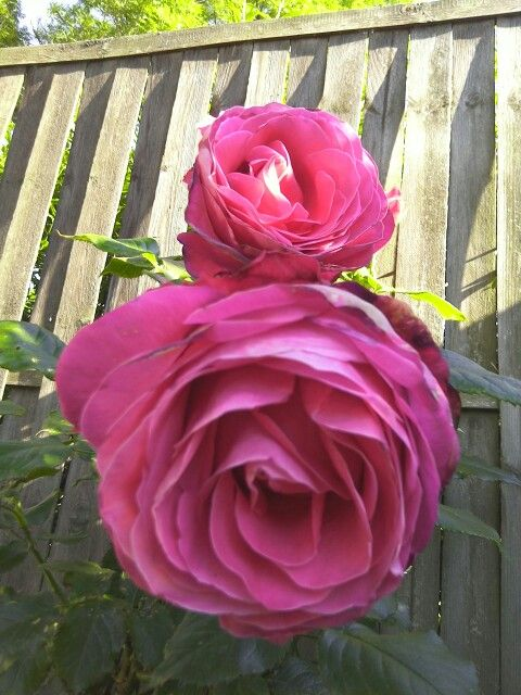 Duftende Rose - direkt aus Schottland
