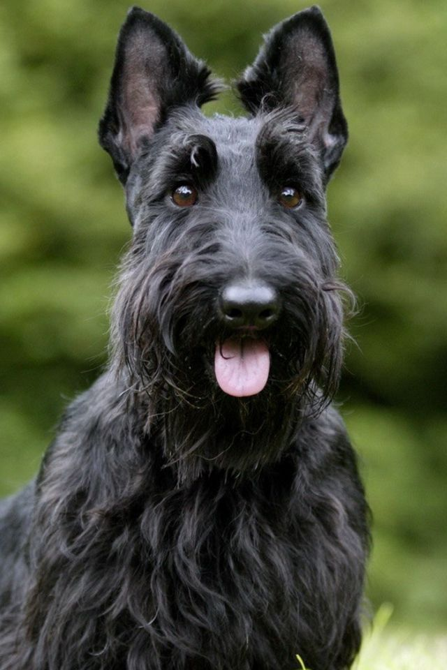 17 Best images about SCOTTISH TERRIER on Pinterest | Studs ...