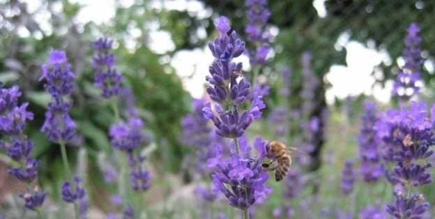kvitnúca levanduľa priťahuje včely