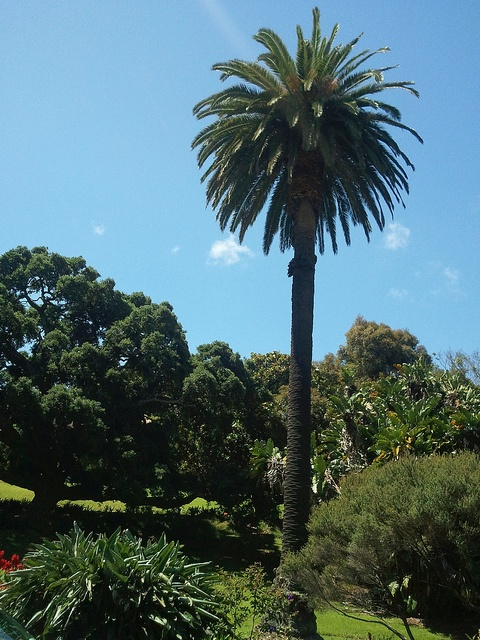 Palm tree in Albert Park by Hannah Robinson
