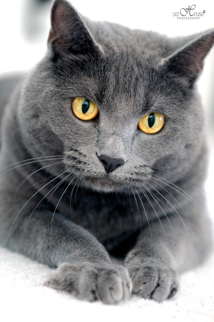33 best Cats domestic images on Pinterest