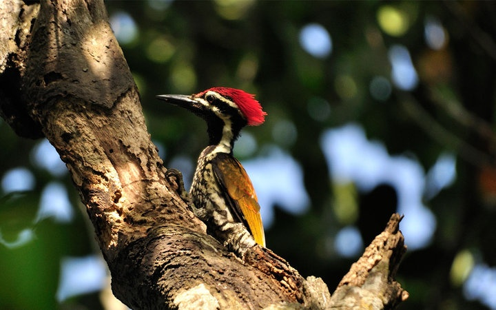 Greater Flame back Woodpecker