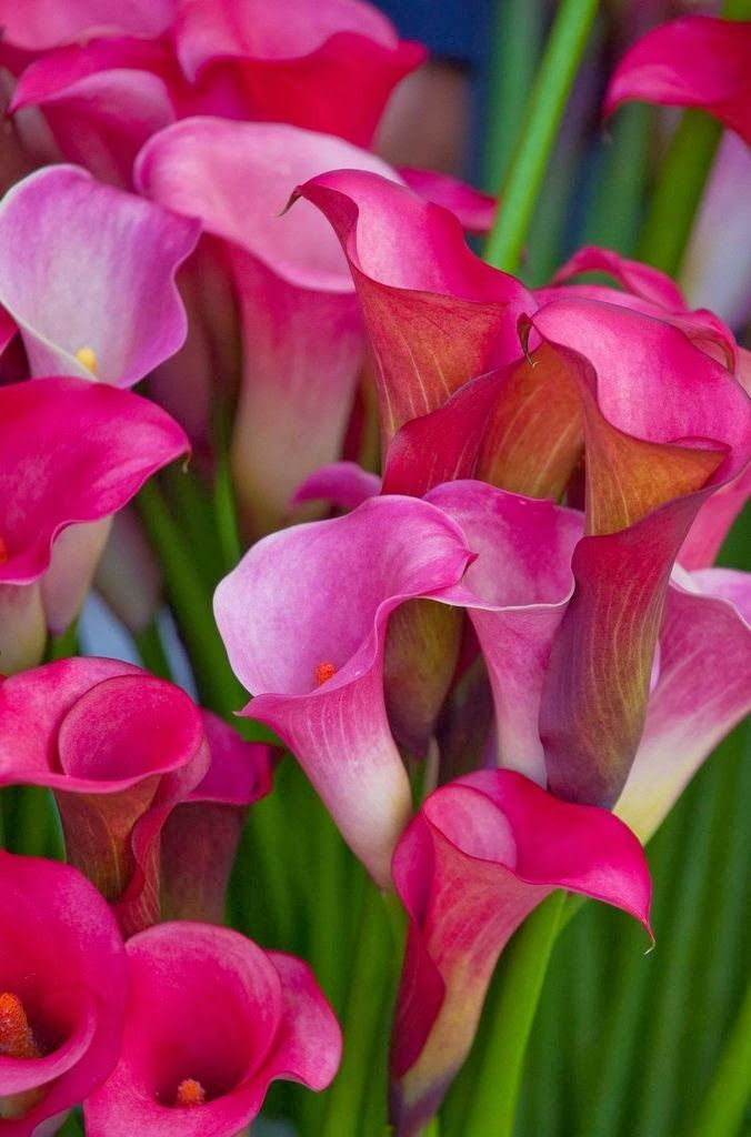 Pink Cannas Beautiful gorgeous pretty flowers
