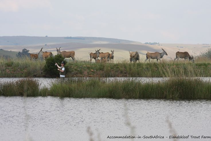 Game drives, fly fishing and much more at Elandskloof Trout Farm. http://www.accommodation-in-southafrica.co.za/Mpumalanga/Dullstroom/ElandskloofTroutFarm.aspx