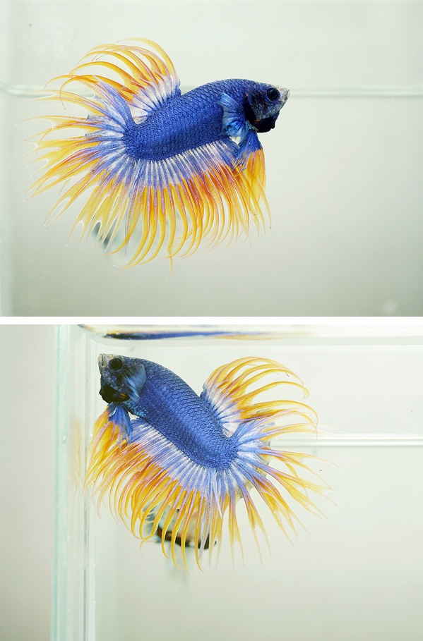 Pattern royal blue crowntail fancy bettas pinterest for Betta fish life span