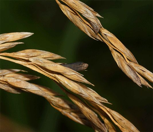 Ergot – Claviceps purpurea