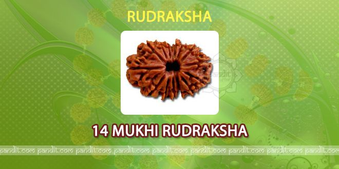 14 mukhi Rudraksha by Astrologer Rahul Kaushal  --------------------------------------------------------- It has 14 lines on it and it is said that it has been obtained from the eye of Lord Shiva.It is called as devmani and is very effective.  http://www.pandit.com/14-mukhi-rudraksha/