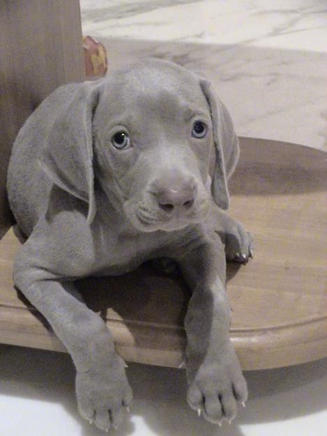 Weimaraner - the puppies have to be cute. Or else, no one ...