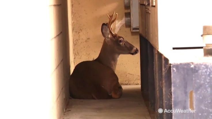 Oct 26, 2016; 8:00 AM ET An unusual situation in downtown Charleston, West Virginia when a whitetail buck decided to spend his day laying down behind a generator near the Charleston Town Center Mall.