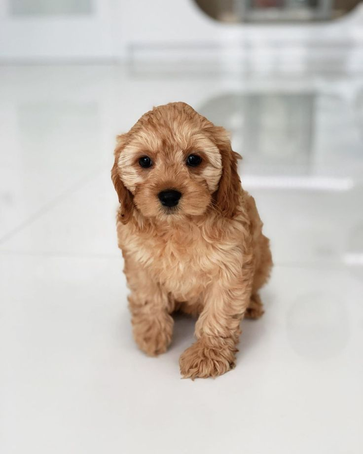 Goldendoodle Puppy Goldendoodle Puppy Cute Dogs Breeds Puppies