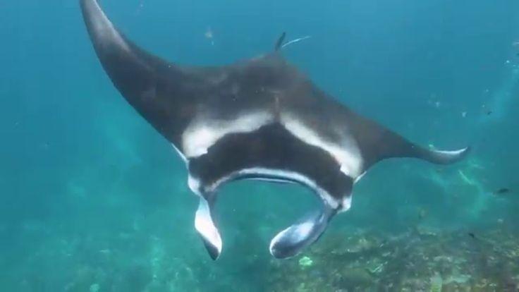 バリ島ダイビング: バリ島 ヌサペニダで100%マンタ三昧!/ Bali Diving - Manta Point