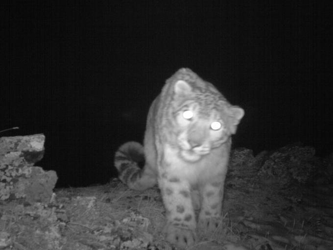 Il Wwf lancia l'allarme estinzione per il leopardo delle nevi | | Il Secolo XIX