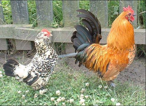 Cara Budidaya atau Beternak Ayam Kampung | Tips Cara Mudahku