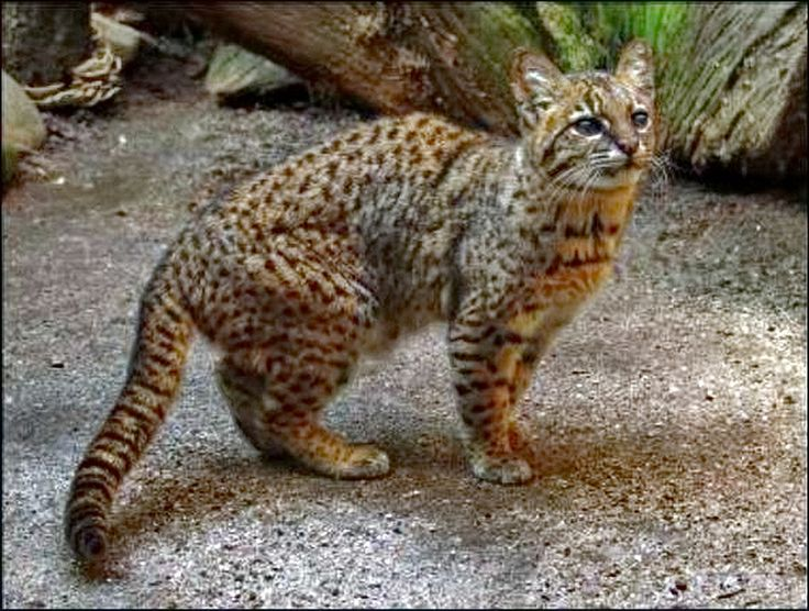 Image result for guina cat