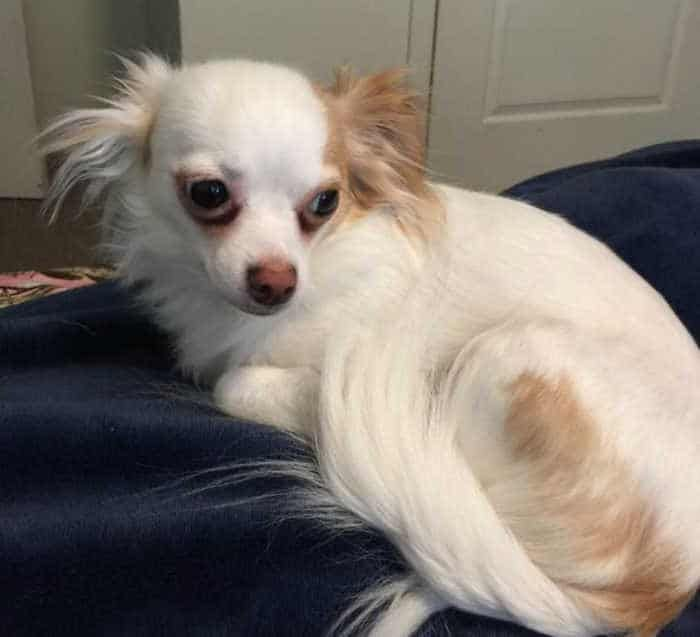 Facts About Deer Head Chihuahuas In 2020 Chihuahua Breeds Papillon Dog Chihuahua