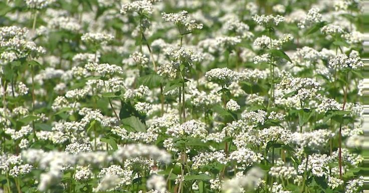 Trigo mourisco é alternativa de plantio para período pós-milho safrinha