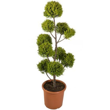 Montery cypress goldcrest cloud tree at homebase be for Garden trees homebase
