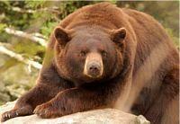 Celem strony Niedźwiedzie.pl jest zebranie w jednym miejscu podstawowych informacji o wspaniałych zwierzętach jakimi są niedźwiedzie. W serwisie opisano osiem żyjących obecnie gatunków niedżwiedzi ( niedźwiedź brunatny, niedźwiedź polarny, panda wielka, niedźwiedź himalajski, niedźwiedź malajski, wargacz, niedźwiedź andyjski, baribal) oraz dwa gatunki wymarłe (niedźwiedź jaskiniowy, niedźwiedź krótkopyski).