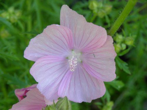 Vackert tunn rosa skiftning på denna sköna blomma. Fotat av Ockelbo Webbdesign.