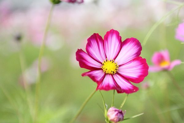 Free photo: Cosmos Flower, Cosmos, Flower - Free Image on Pixabay - 825186