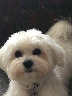 Malteser Hund Fritz