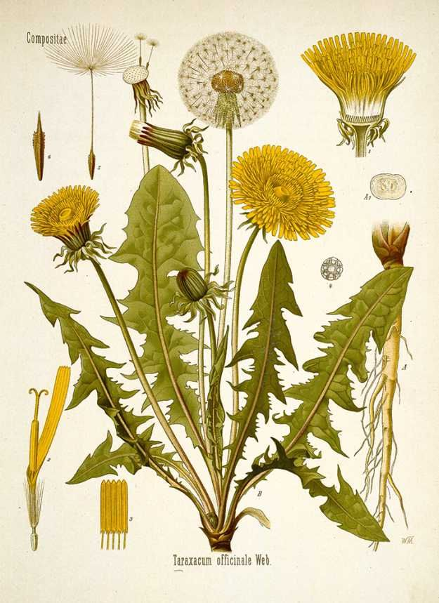The Many Medicinal Benefits of Dandelions - Home Remedies   Natural and Effective Plant For Young Living by Pioneer Settler http://pioneersettler.com/dandelions-home-remedies
