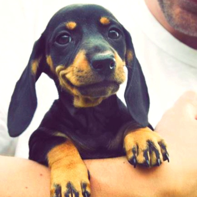 Could this Daschund puppy be any happier?