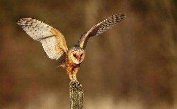 barn owl symbolism - Google Search | Owl, Owl symbolism ...