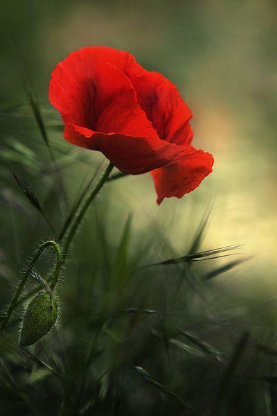 flowersgardenlove: **red poppy Beautiful